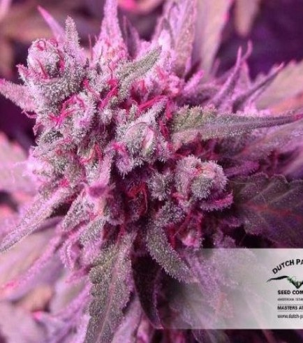 White Widow (Dutch Passion)