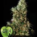 High Level (Eva Seeds)