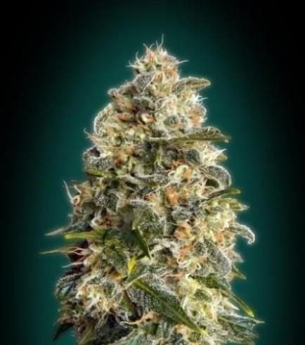 Heavy Bud (Advanced Seeds)