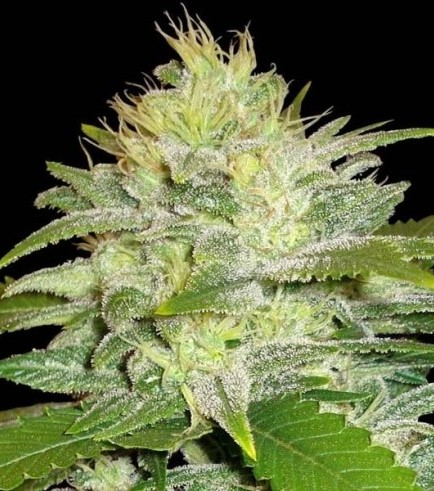 La Musa (Delicious Seeds)