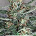 Crystal Cloud (Ministry of Cannabis)