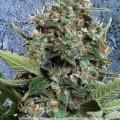 Autopilot XXL (Ministry of Cannabis)
