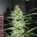 Ace Silver Haze (Greenlabel Seeds)