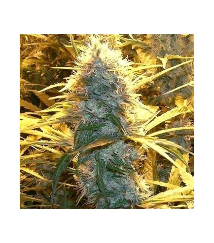 Medical Kush (Spliff Seeds)