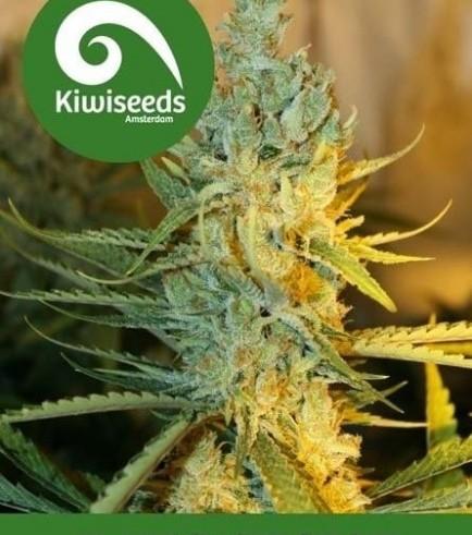 Ray's Choice (Kiwi Seeds)