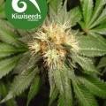Hindu Kush (Kiwi Seeds)