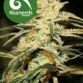Sugar Baby (Kiwi Seeds)