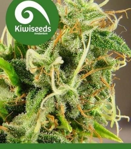 Tasman Haze (Kiwi Seeds)