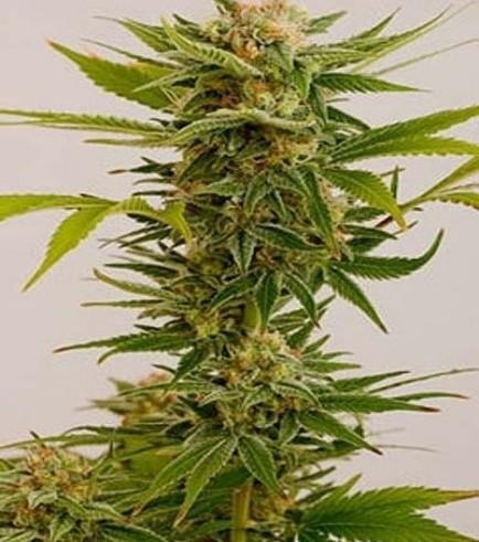 Sour Diesel 2 (Humboldt Seeds)