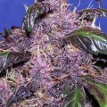 Auto Purple (Original Sensible Seeds)