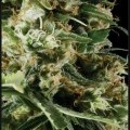 Arjan's Haze 2 (Greenhouse Seeds)