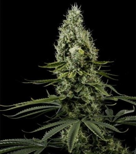 Arjan's Haze 3 (Greenhouse Seeds)