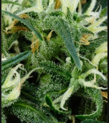 Arjan's Ultra Haze 2 (Greenhouse Seeds)