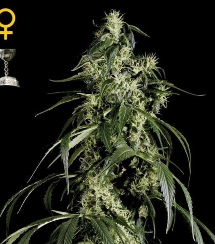 Arjan's Haze 1 (Greenhouse Seeds)