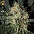 Cheese (Greenhouse Seeds)