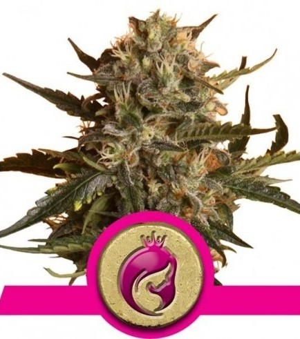 Royal Madre (Royal Queen Seeds)
