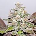 Mendocino x Purple Kush (Medical Seeds)
