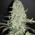 White Widow x Big Bud (Female Seeds)