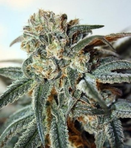 Zombie Kush (Ripper Seeds)