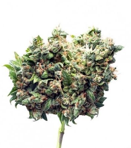 Cotton Bud Automatic (Zamnesia Seeds)