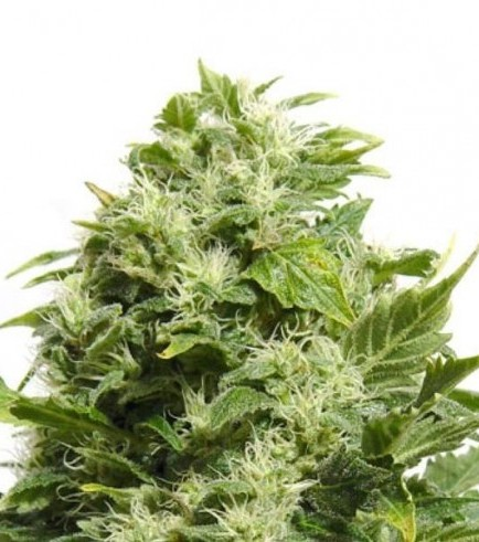 Cheese (Sensation Seeds)