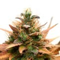 Medijuana CBD (Sensation Seeds)