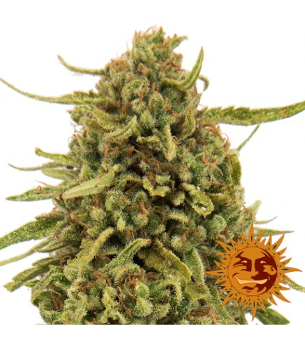 Widow Remedy (Barney's Farm)