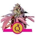 Purple Queen (Royal Queen Seeds)