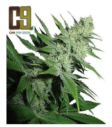 Aroma (CH9 Seeds)