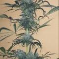 Green Crack CBD (Humboldt Seeds)
