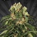 Hijack Autoflowering (Auto Seeds)