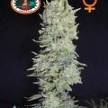 Hindu Cream (Big Buddha Seeds)