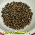 Cherry Malawi (Kingdom Organic Seeds)