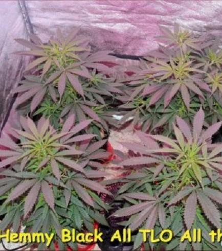 Hemmy Black (Kingdom Organic Seeds)