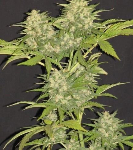 Critical Super Silver Haze (Delicious Seeds)