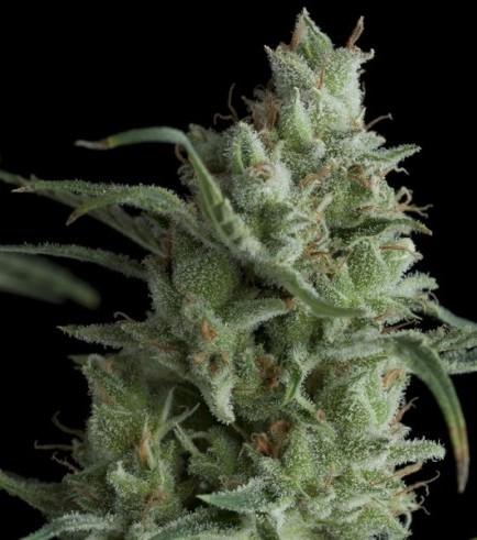 Kryptonite (Pyramid Seeds)