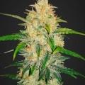 Zkittlez Autoflowering (Fast Buds)
