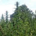 Master Hemp (Medical Marijuana Genetics)