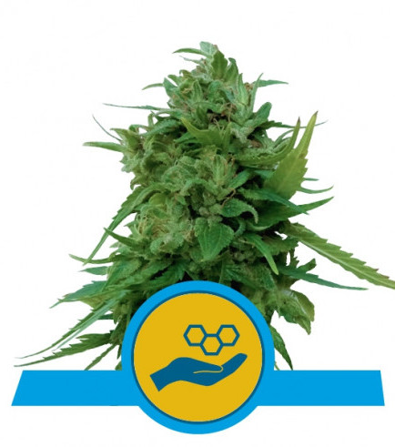 Solomatic CBD (Royal Queen Seeds)