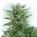 Cotton Bud Autoflowering