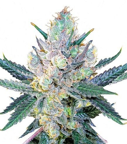 Blue Cheese (Zativo Seeds)