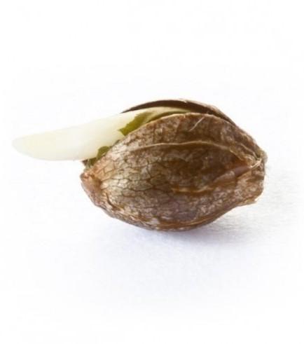 Royal Dwarf (Royal Queen Seeds)