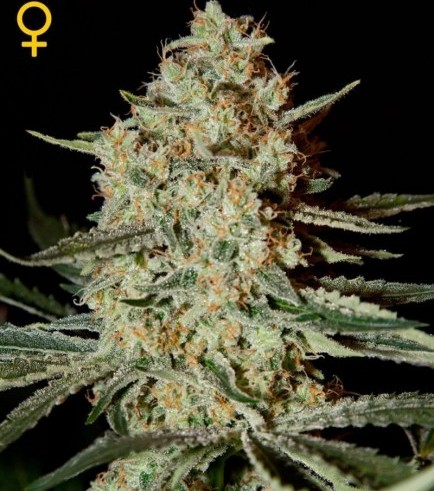 Himalaya Gold (Greenhouse Seeds)
