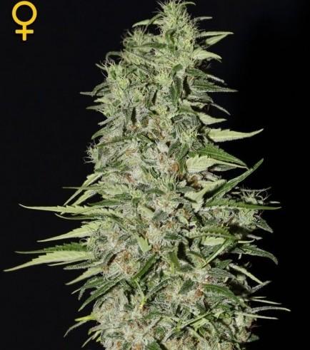 Diamond Girl (Greenhouse Seeds)