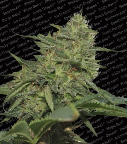 Original Cheese (Paradise Seeds)