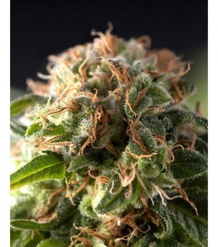 Auto Fresh Candy (Pyramid Seeds)