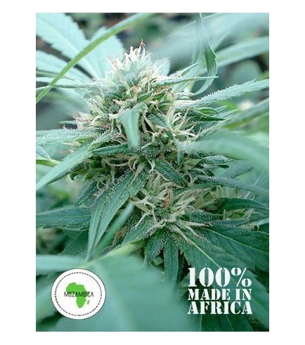 Mozambica (Seeds Of Africa)