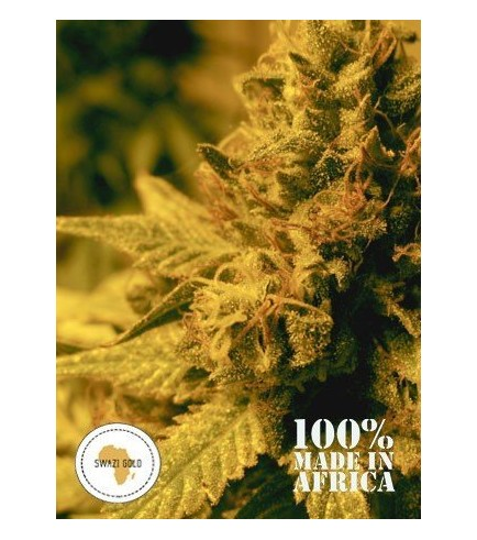 Swazi Gold (Seeds Of Africa)