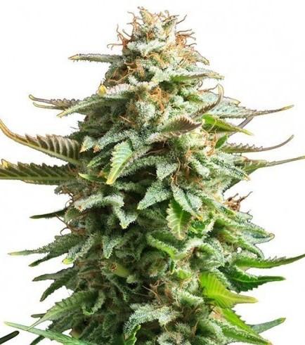 Amnesia Haze (Zativo Seeds)