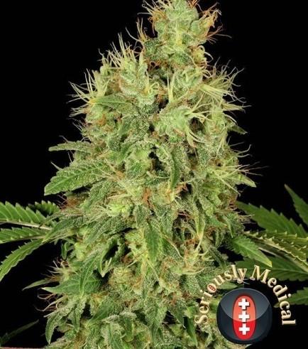 CBD-Chronic (Serious Seeds)
